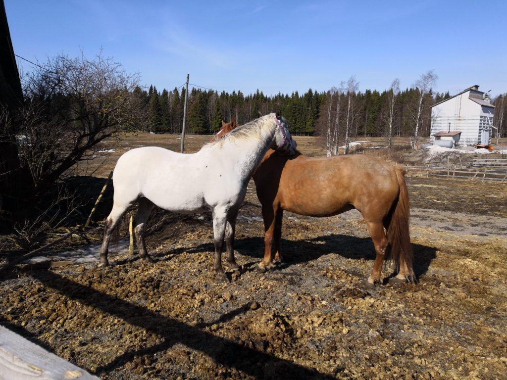 Hevonen eläimenä, mitä hevonen tarvitsee?